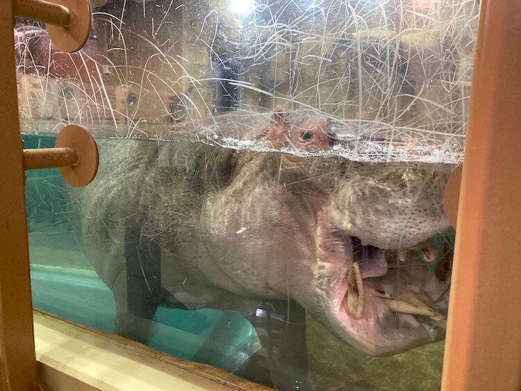 旭山動物園のカバ。