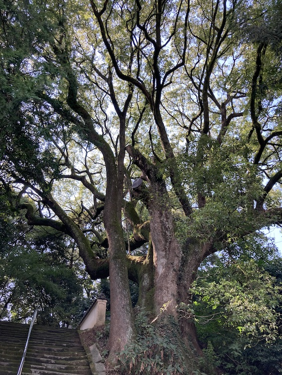 四国お遍路車中泊の旅10日目 67番札所 小松尾山 大興寺(だいこうじ)の参道、弘法大師が植えたという樹齢1200年のカヤの木