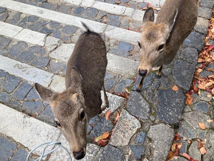 日本一周Nバン車中泊56日目 東大寺の鹿。鹿せんべい持ってたら追い回される