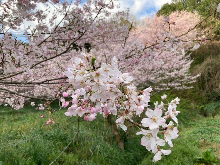 湯巡りNバン日本一周車中泊59日目 佐久間ダムのしだれ桜