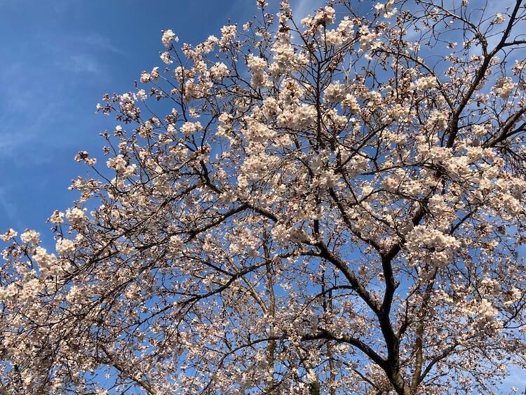 湯巡り日本一周Nバン車中泊 59湯目 箱根の湯駐車場の桜