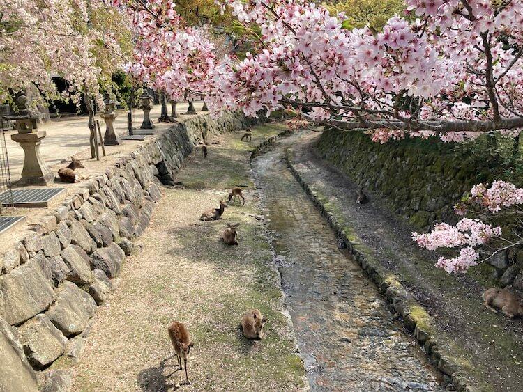 紅葉谷川の桜と鹿