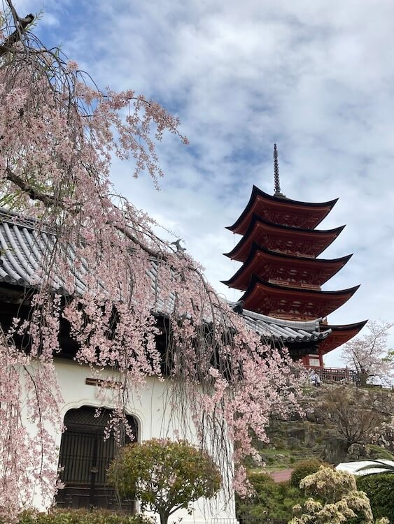 宮島の五重塔のしだれ桜