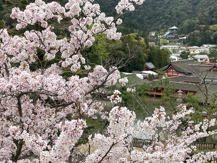 宮島の桜と厳島神社