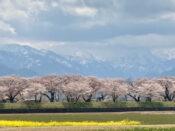 富山の本気を見てみたい!あさひ舟川「春の四重奏」に行ってみた!