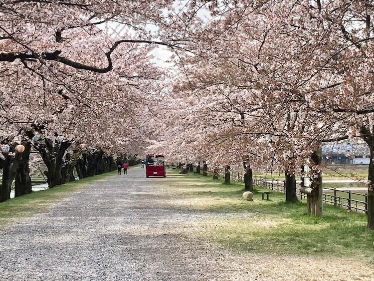 富山の本気を見てみたい!あさひ舟川「春の四重奏」に行ってみた!川沿いの桜並木