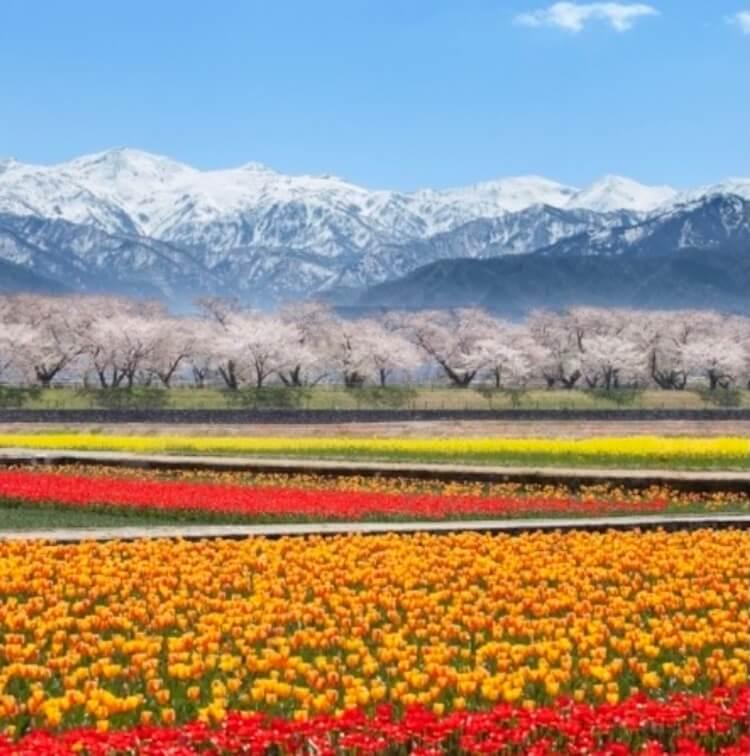 富山の本気を見てみたい!あさひ舟川「春の四重奏」に行ってみた!これが本気の富山