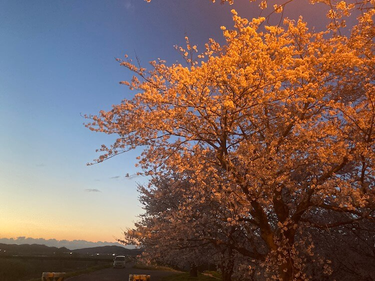 湯巡り日本一周Nバン車中泊 76湯目 道の駅くがみ てまりの湯近くの大河津分水路の桜