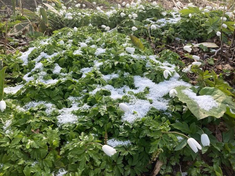 新潟随一のパワースポット弥彦山山頂付近の雪と花
