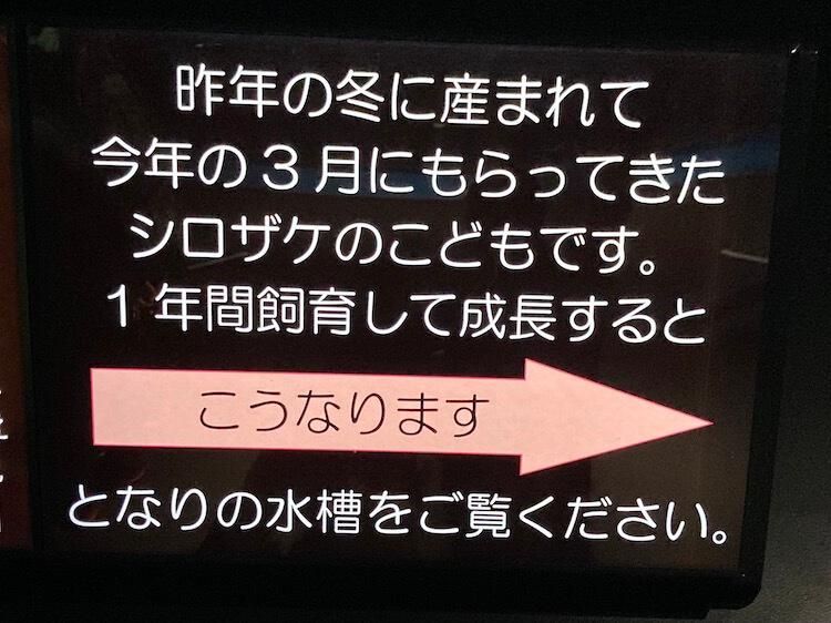 圧巻!鶴岡市立加茂水族館の鮭の稚魚