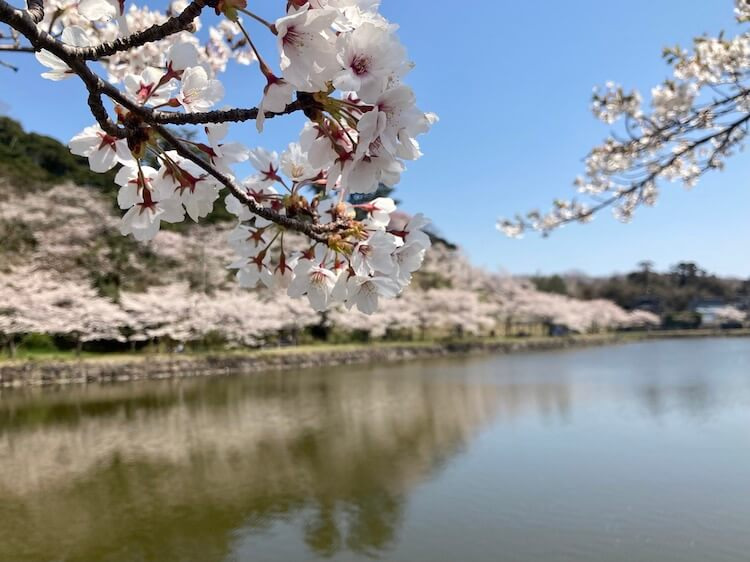 秋田の桜を満喫!勢至公園と角館