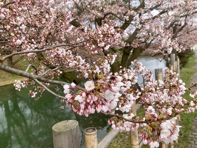 弘前城のお濠の桜