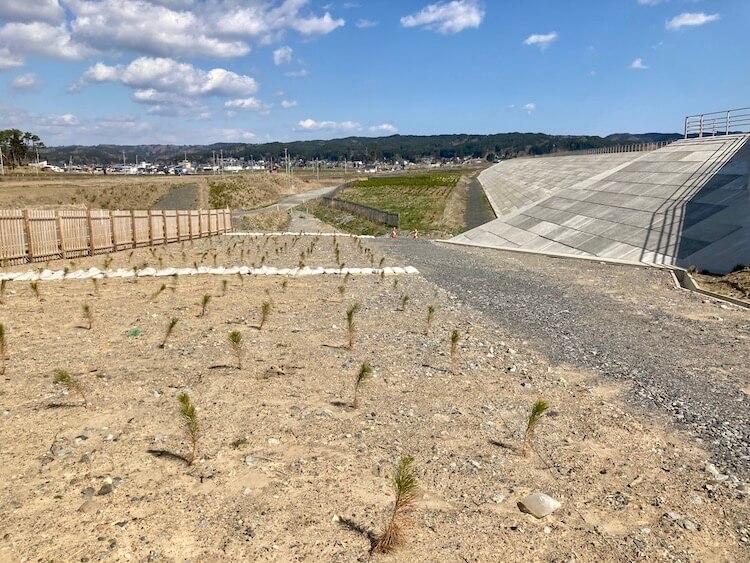 東日本大震災の復興事業でつくられた防波堤下の松の植林