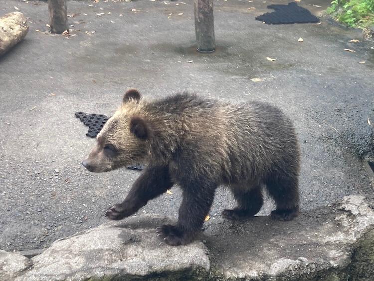 登別クマ牧場のクマと弁慶岬のエゾジカで動物ざんまい 登別クマ牧場のこぐま