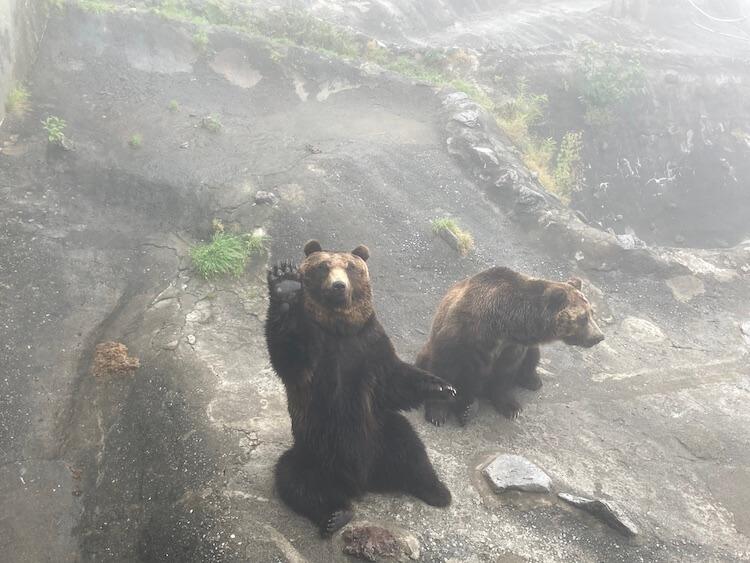 登別クマ牧場のクマと弁慶岬のエゾジカで動物ざんまい 登別クマ牧場でおやつをおねだりして手を挙げるヒグマ