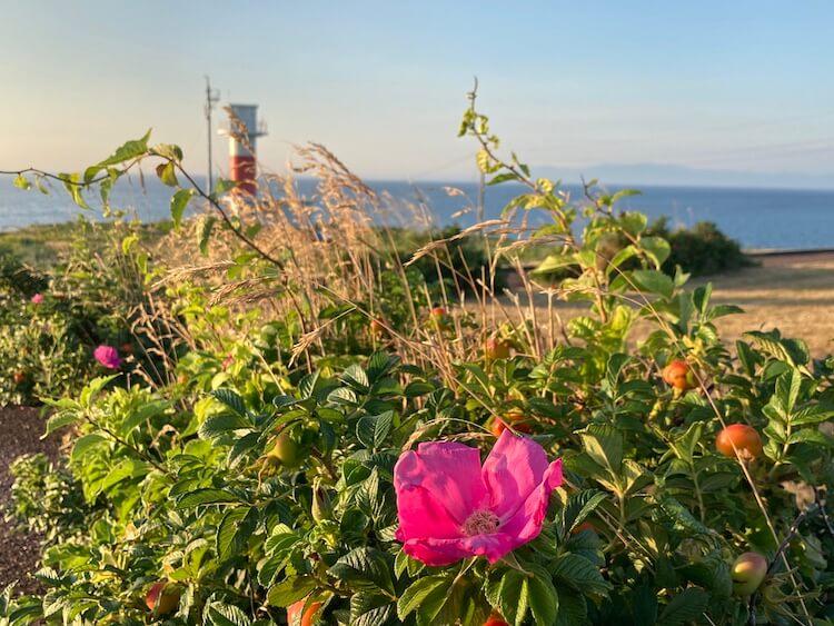 登別クマ牧場のクマと弁慶岬のエゾジカで動物ざんまい 花と弁慶岬灯台